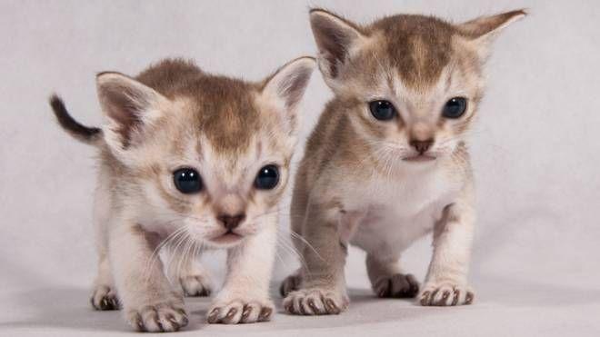 Reggio Emilia, alla mostra Star Cats ci saranno anche i gatti Singapura
