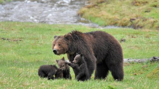 Grizzly nel parco di Yellowstone - Foto: mlharing/iStock