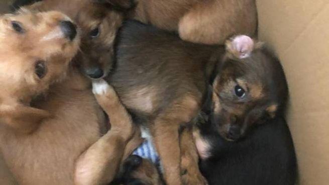 I cuccioli abbandonati in uno scatolone