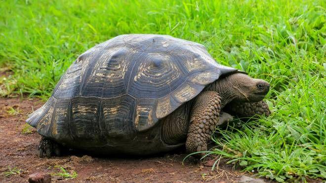 Una tartaruga gigante delle Galapagos (Foto: Donyanedomam/iStock)