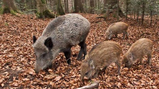 Cinghiali nel bosco