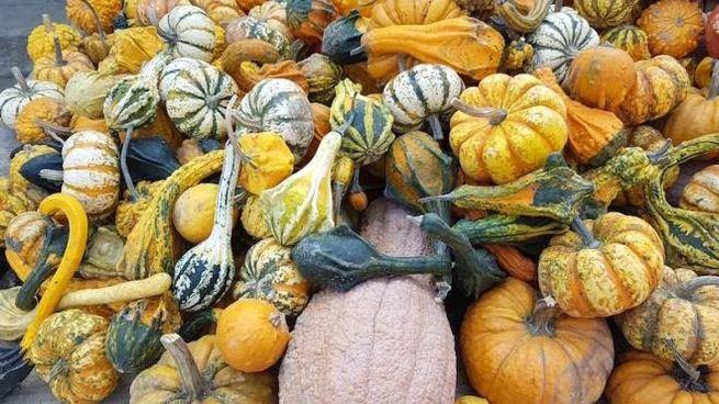 Piccole zucche decorative... e grandi zucche da mangiare