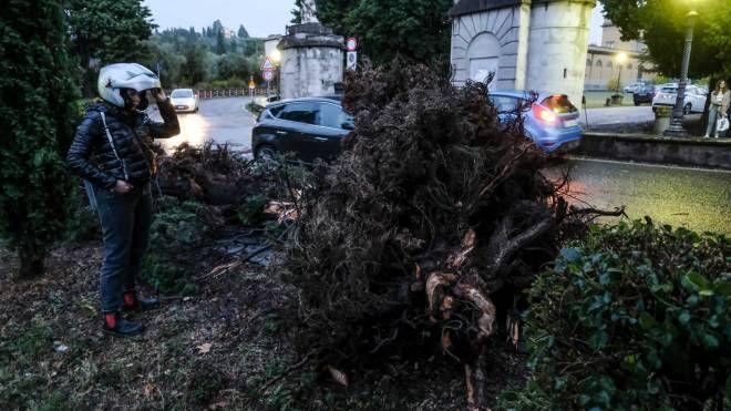 Un albero sradicato dal vento a Firenze (New Press Photo)