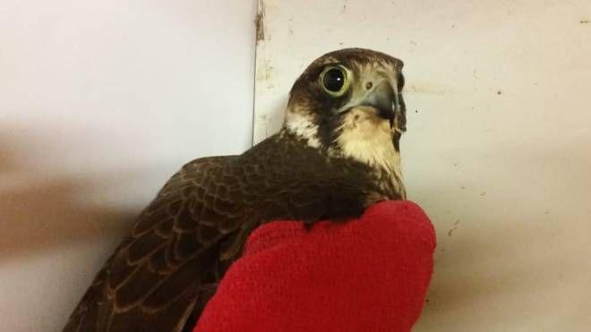 ll falco ferito da un bracconiere e ricoverato al Centro Lipu: ha uno speciale bendaggio