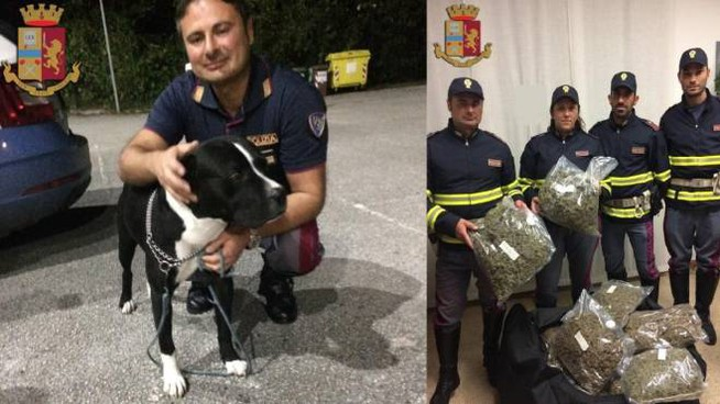 Il pitbull e la droga sequestrata