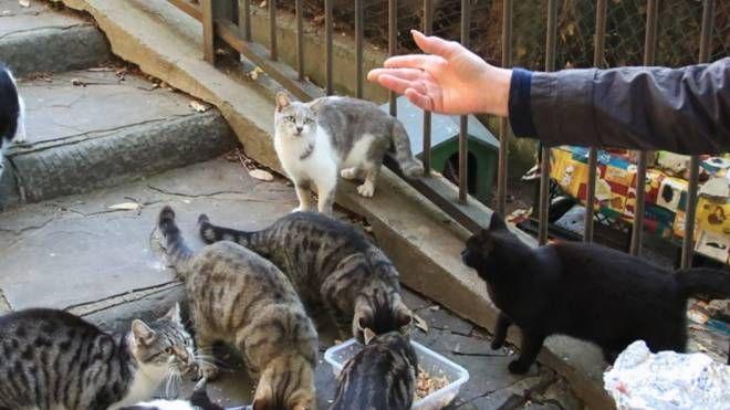 Tante persone  si occupano delle colonie feline dove ci sono gatti sterilizzati  e controllati  (Foto d'archivio)