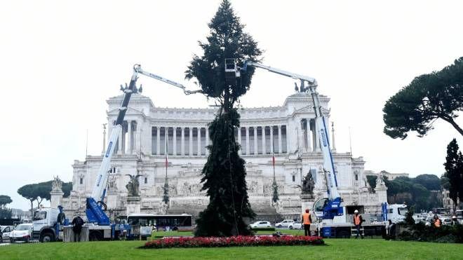 L'abete che sarà allestito a piazza Venezia (Noca)