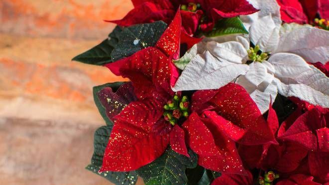 La stella di Natale e le sue curiosità - foto barmalini istock