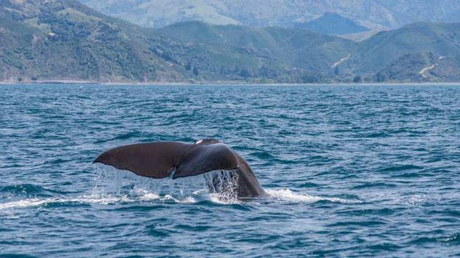 Whale watching a Kaikoura, in Nuova Zelanda - Foto: elmvilla/iStock
