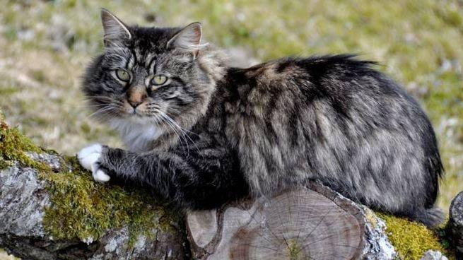 Un esemplare contemporaneo di gatto delle foreste norvegesi