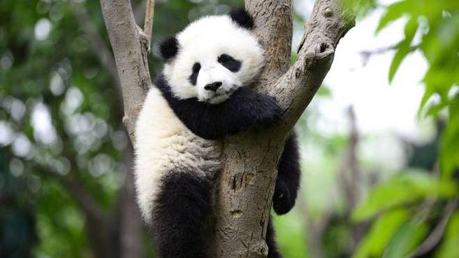 Un cucciolo di panda gigante