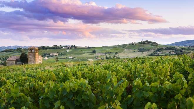 Le vigne del Beaujolais, in Francia