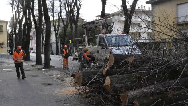 Il taglio degli alberi in viale Montegrappa