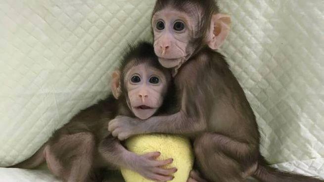 Zhong Zhong e Hua Hua, clonate in Cina nel 2018 (Lapresse)