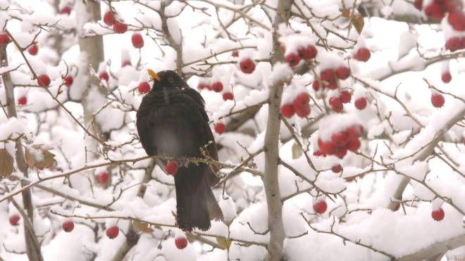 Un merlo tra la neve di un albero (Newpress)
