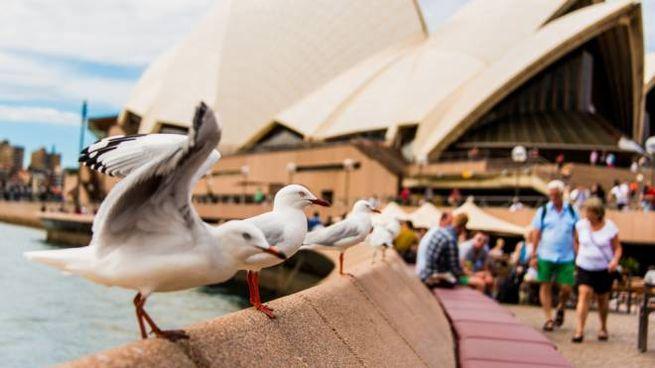 I gabbiani dell'Opera House di Sydney