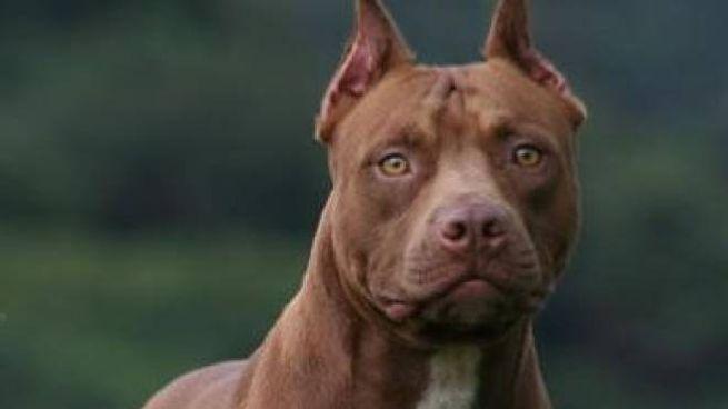 Pitbull (foto di repertorio)
