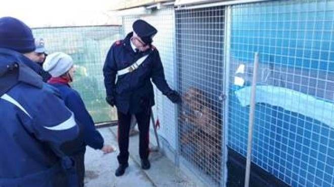 Allevamento abusivo di pitbull scoperto dai carabinieri