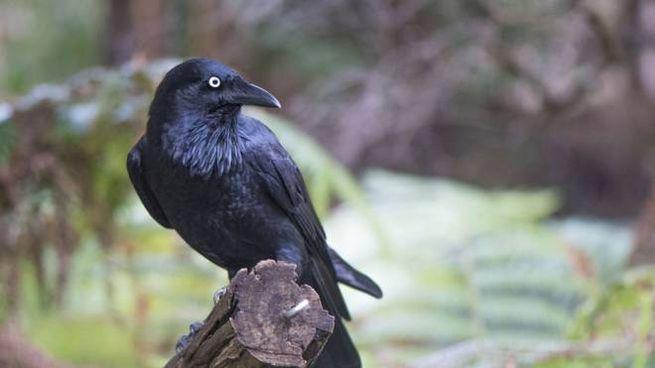 L'intelligenza dei corvi della Nuova Caledonia