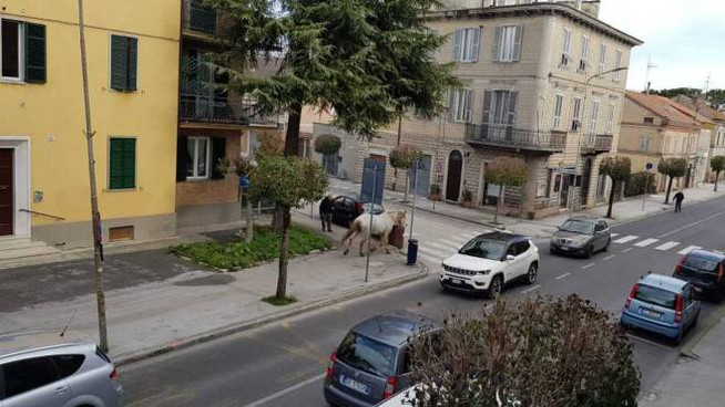 Il cavallo avvistato stamattina sulla strada provinciale, a Sforzacosta