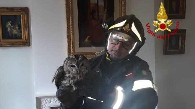 I vigili del fuoco con la civetta salvata