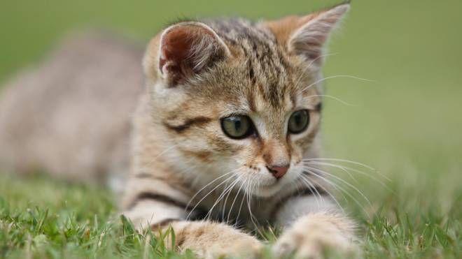 Un gatto: il 17 febbraio è la festa di tutti i felini domestici (Alive)