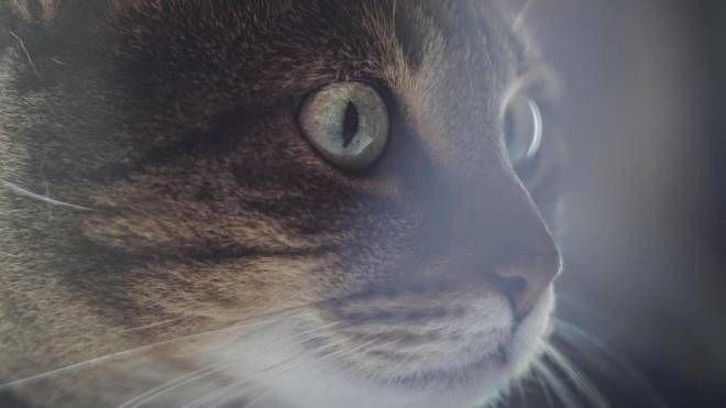 Oggi, 17 febbraio, è la giornata mondiale del gatto (Ansa)
