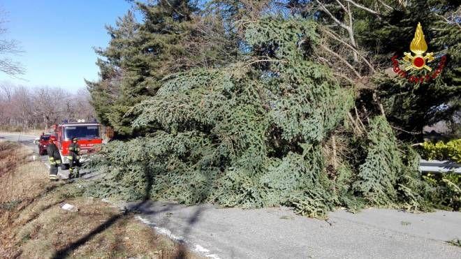 L'albero caduto a Santa Fiora
