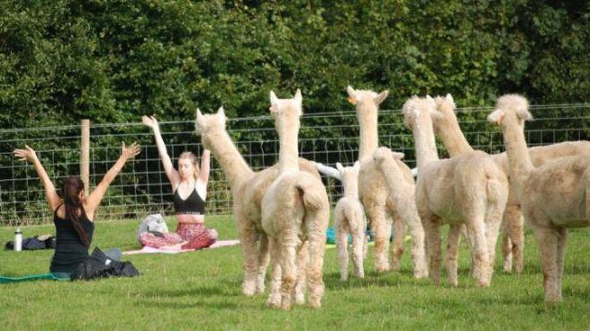 Lezioni di yoga in compagnia degli alpaca - Foto: facebook/rosebudalpacas