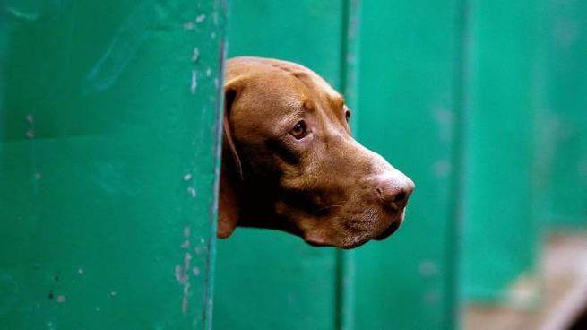 Imola, picchia il cane: nella foto di repertorio (Ansa) un setter
