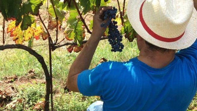 Alcune decine di migliaia di viti sono state piantate megli ultimi anni grazie al bando della Comunità montana di Morbegno