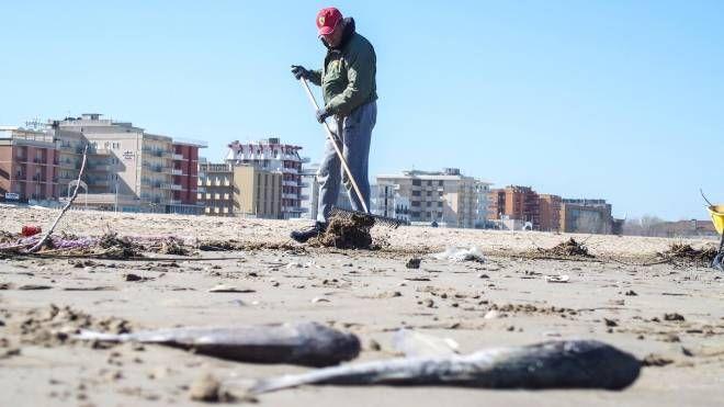 Rimini, migliaia di cefali morti (Foto PasqualeBove)