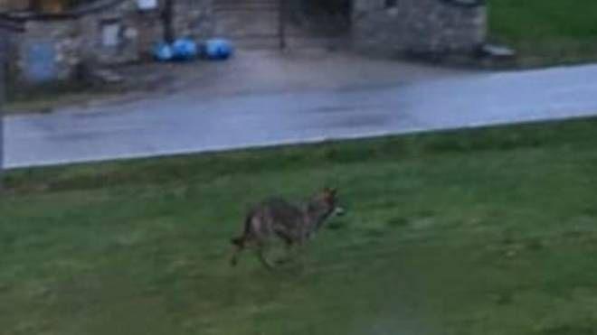 L'esemplare di lupo avvistato nelle immediate vicinanze del centro di Scarperia (Facebook)