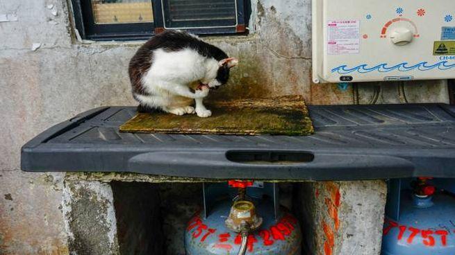 Uno dei gatti randagi di Houtong - Foto: South_Peace / iStock