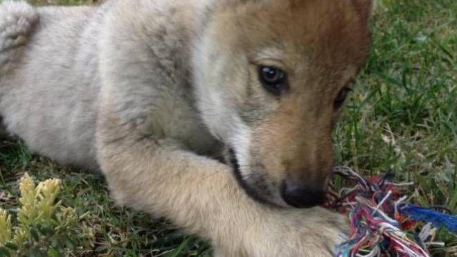 L'animale era chiuso nell'appartamento di un 23enne cinese in via Ferrari a Milano senza acqua e cibo, in mezzo a escrementi e urina