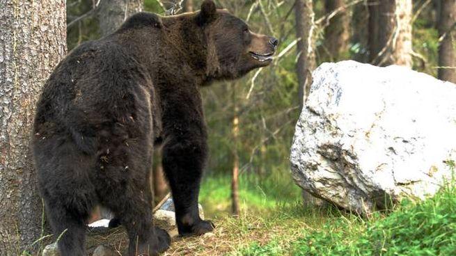 Sondrio, è tornato l'orso
