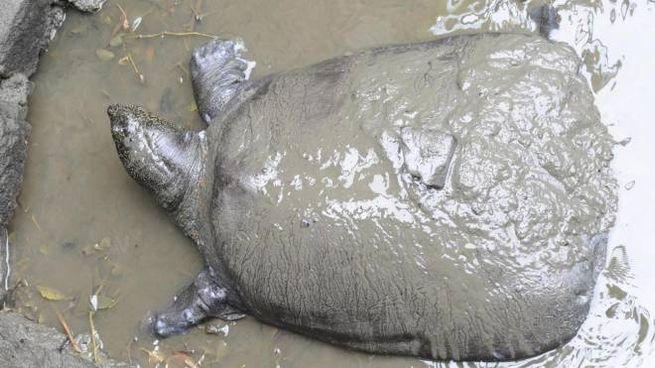 La tartaruga dello Yangtze nello zoo di Suzhou (Ansa)
