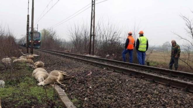 Pecore uccise dal treno