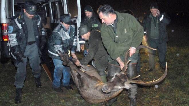 La cattura di un cervo al Parco Nord