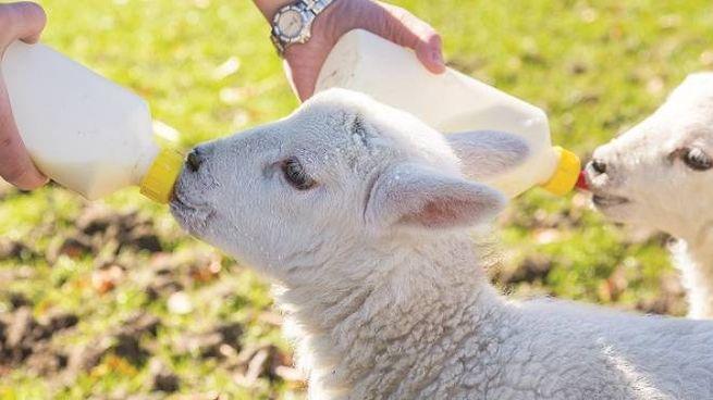 Un agnellino viene nutrito con il biberon