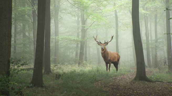 Un cervo rosso