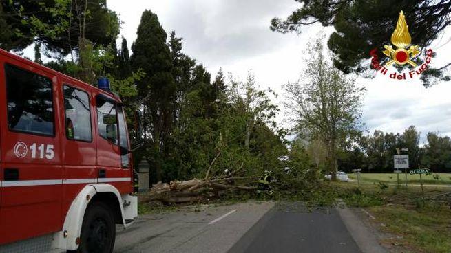 L'albero caduto sulla ex Aurelia