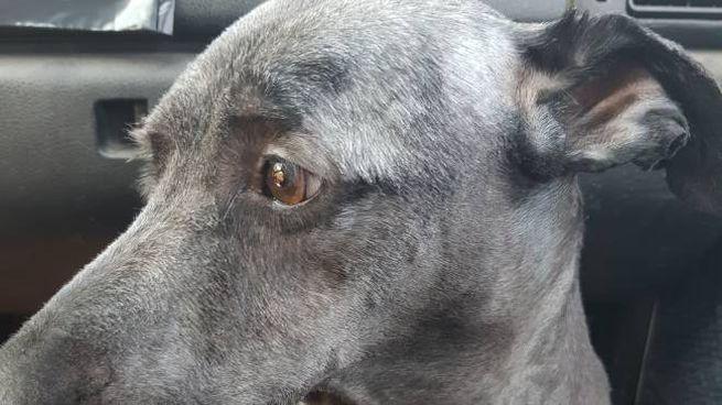 Il cane trovato in un cassonetto ferito e bisognoso di urgenti cure mediche