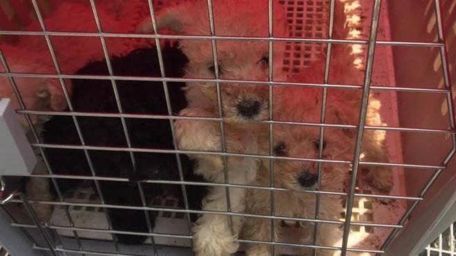 Milano Scoperto Traffico Di Cani Sequestrati 5 Cuccioli