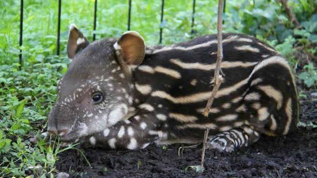 Risultati immagini per AL PARCO FAUNISTICO LE CORNELLE tapira