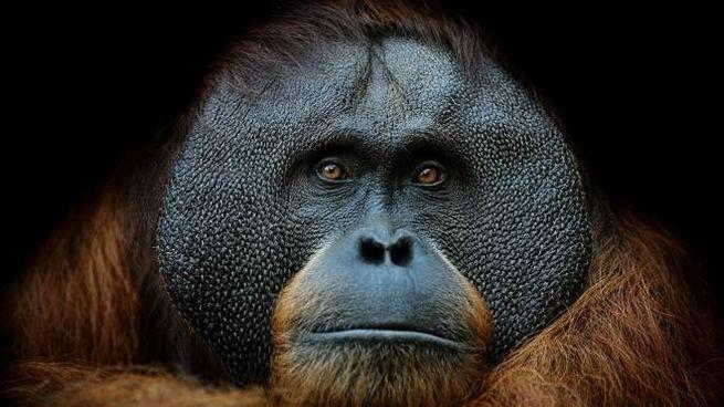 Scimmie a rischio estinzione