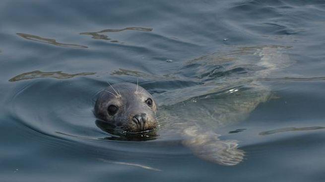 Un esemplare di foca grigia