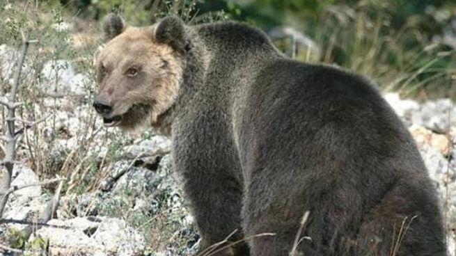 L'orso M49, è riuscito a fuggire (Ansa)