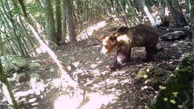 L'orso M49 immortalato dalla fototrappola (Ansa)