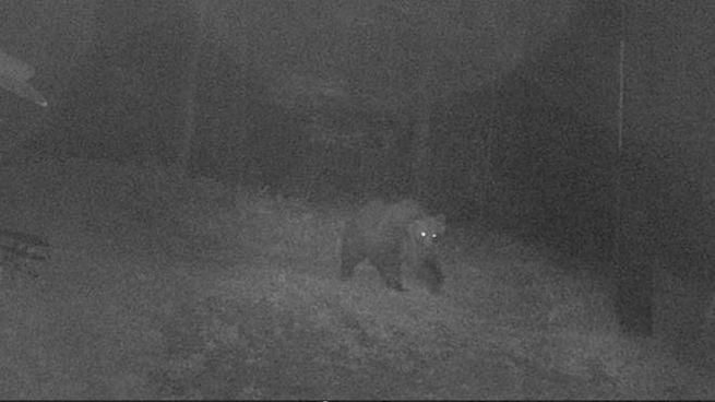 La nuova foto dell'orso m49 (Ansa)
